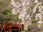 小石川後楽園のお花見_2