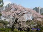 小石川後楽園のお花見_4
