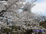 小石川後楽園のお花見_8