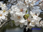 小石川後楽園のお花見_9