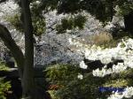 小石川後楽園のお花見_14