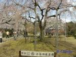 小石川後楽園のお花見_11