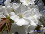 小石川植物園の桜_1