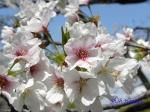 小石川植物園の桜_2