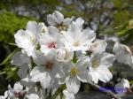 小石川植物園の桜_3
