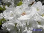 小石川植物園の桜_4