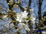 小石川植物園の桜_5
