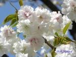 小石川植物園の桜_6