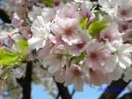 小石川植物園の桜_7