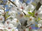 小石川植物園の桜_8
