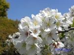 小石川植物園の桜_9