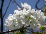 小石川植物園の桜_10
