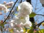 小石川植物園の桜_11