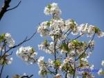 小石川植物園の桜_12