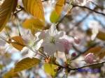 小石川植物園の桜_13