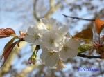 小石川植物園の桜_14