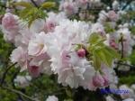 小石川植物園の桜_15