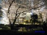 毛利庭園の桜ライトアップ_6