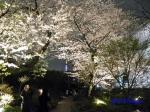 毛利庭園の桜ライトアップ_8