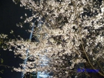 毛利庭園の桜ライトアップ_9