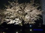 毛利庭園の桜ライトアップ_10