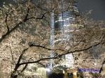 毛利庭園の桜ライトアップ_12