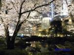 毛利庭園の桜ライトアップ_13