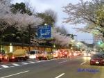 千鳥ヶ淵緑道の桜ライトアップ_1