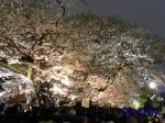 千鳥ヶ淵緑道の桜ライトアップ_3