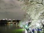 千鳥ヶ淵緑道の桜ライトアップ_7