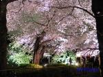 千鳥ヶ淵緑道の桜ライトアップ_8