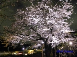 千鳥ヶ淵緑道の桜ライトアップ_9