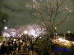 千鳥ヶ淵緑道の桜ライトアップ_10