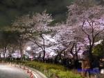 千鳥ヶ淵緑道の桜ライトアップ_11