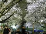 千鳥ヶ淵緑道の桜ライトアップ_12