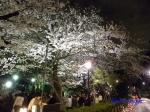千鳥ヶ淵緑道の桜ライトアップ_13