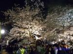 千鳥ヶ淵緑道の桜ライトアップ_15