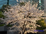 六本木アークヒルズの桜ライトアップ_01