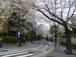 六本木アークヒルズの桜ライトアップ_02