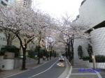 六本木アークヒルズの桜ライトアップ_03
