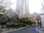六本木アークヒルズの桜ライトアップ_04
