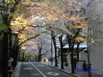 六本木アークヒルズの桜ライトアップ_05