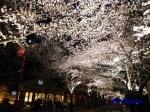 六本木アークヒルズの桜ライトアップ_10