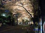六本木アークヒルズの桜ライトアップ_11