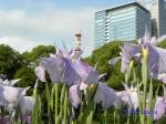 皇居東御苑の花菖蒲その2_15