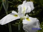 堀切菖蒲園の花菖蒲その2_15_初霜