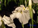 堀切菖蒲園の花菖蒲その3_9