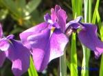 小石川植物園の花菖蒲_2_江戸紫