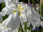 小石川植物園の花菖蒲_5_白糸の滝