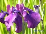 小石川植物園の花菖蒲_10_江戸紫